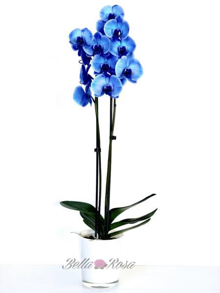 Orquídea Como agua de lluvia
