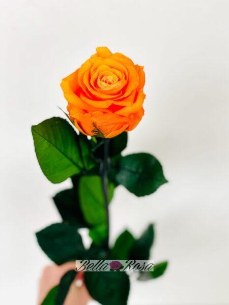 Rosa eterna liofilizada naranja