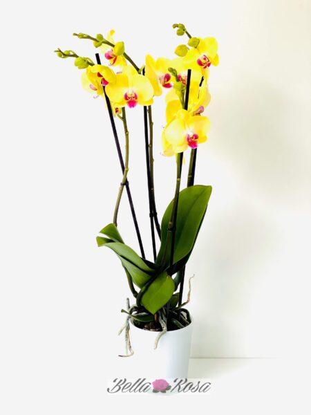 Orquídea Rayo de Sol