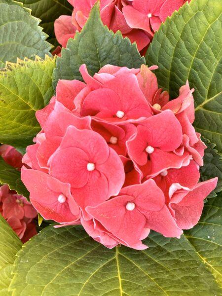 Planta hidragea