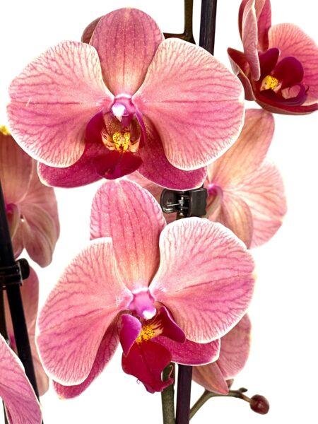 Orquidea Atardecer